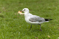 Gull stole a piece of bread Stock Photography
