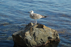 Gull on the stone Stock Images