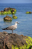 Gull On The Stone Royalty Free Stock Image