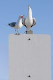 Gull Story. Two seagulls perched on a blank sign (for your text).  One gull is squawking, the other with his beak in the air Royalty Free Stock Photo