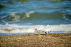 Gull su una spiaggia del Mar Baltico immagine stock libera da diritti