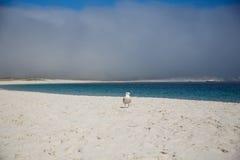 Gull su una spiaggia di sabbia lunga, le isole atlantiche il parco nazionale, Spagna immagini stock