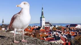 Gull sui precedenti del panorama di Tallinn, Estonia immagine stock