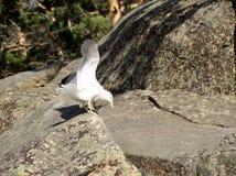 Gull sul lago Chebache, parco naturale nazionale dello stato fotografia stock