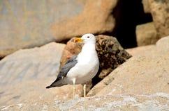 Gull sul lago Chebache, parco naturale nazionale dello stato fotografie stock