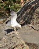 Gull sul lago Chebache, parco naturale nazionale dello stato fotografia stock libera da diritti