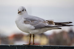 Gull sull'inferriata del ferro sul fiume nel fondo nuvoloso di paesaggio urbano e del giorno fotografia stock