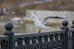 Gull sull'inferriata del ferro sul fiume nel fondo nuvoloso di paesaggio urbano e del giorno Uccello che mangia pane immagine stock libera da diritti