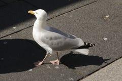 Gull sulla via con ombra sull'asfalto fotografia stock libera da diritti