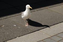 Gull sulla via con ombra sull'asfalto fotografie stock