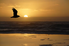 A gull at sunrise royalty free stock photo