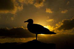 Gull in the sunset Royalty Free Stock Photos