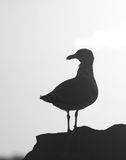 Gull at sunset Royalty Free Stock Photo