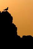 Gull at sunset Stock Image
