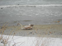 Gull and swan on the beach Royalty Free Stock Photos