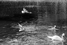 Gull and Swan on the pond black and white image stock images
