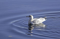 Gull Swimming Calm Waters Stock Images