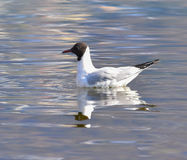 Gull swimming on the lake Royalty Free Stock Images