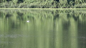 Gull swimming on river stock footage