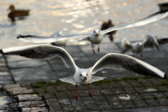 Gull take-off Royalty Free Stock Photography
