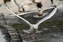 Gull take-off Stock Image