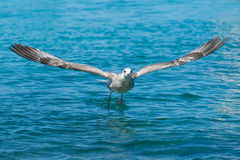 Gull take off Stock Images