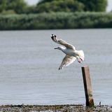 Gull taking flight from a wooden pile Stock Photos