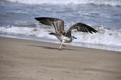Gull Stock Images