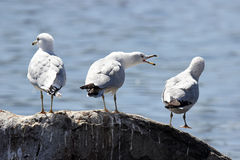 Gull Talk Stock Photography