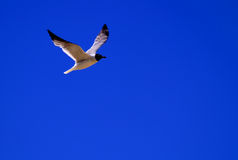 Gull / Tern in Flight. Shore bird in flight, back lit against a brilliant blue sky royalty free stock images