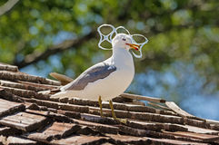 Gull Trapped In Plastic Royalty Free Stock Photo