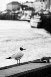 Gull at the Trouville harbor. A gull in front of boats, at the Trouville harbor (France Stock Images