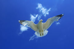 Gull Underneath. Underneath a flying seagull with wings spread open Royalty Free Stock Photo
