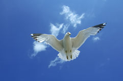 Gull Underneath - Lighther Blue. Underneath a flying seagull with wings spread open Royalty Free Stock Image
