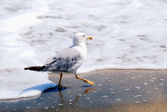 A gull walking along a seashore Royalty Free Stock Photo