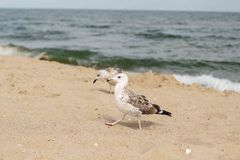 Gull. Walking on the beach Royalty Free Stock Images