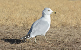 Gull walking in dry dead grass on windy day Stock Photo
