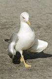 Gull walking in the town. Larus michahellis. Selective focus Royalty Free Stock Photo