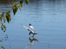 A Gull Walking On Water stock photos