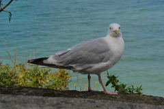 A gull is watching the camera Stock Photo