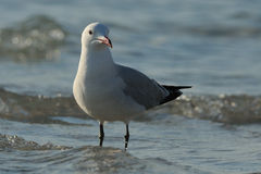 Gull in the Water. The Audouin's Gull is a very rare bird Royalty Free Stock Image