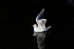 Gull on the water Royalty Free Stock Image