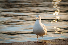 Gull by water's edge Stock Photos