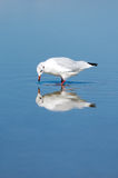 Gull in the water Stock Photography
