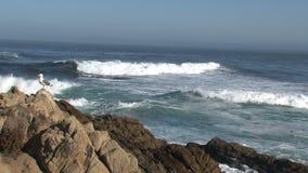 Gull Westcoast, California, United States stock video footage