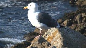 Gull Westcoast, California, United States stock footage