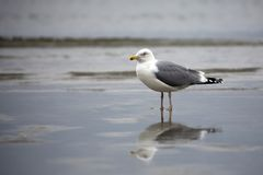 Gull in the wild. Near the sea Stock Images
