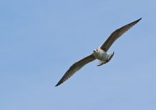 Gull, Wings Spread in Flight Royalty Free Stock Image