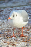 Gull in winter. The slender-billed gull Larus genei is a mid-sized gull Royalty Free Stock Image