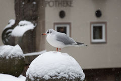 A gull in winter time. Royalty Free Stock Photos